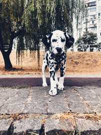 Щенок  Далматин собака для фотосессии