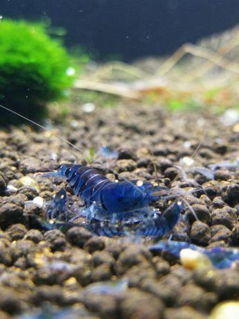 Krewetki Blue Tiger Orange Eye. Wysyłka.