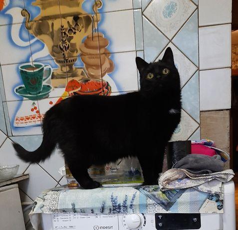 Срочно отдам черную кошку, 2 года, стерилизована