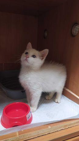 Котенок кошечка, 1,5 месяцев