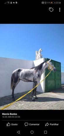 Egua luso árabe. 4 anos
