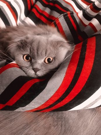 В' язка Красавец котик ,хайленд фолд
