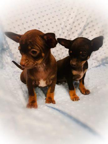 Chihuahua pieski (samce)
