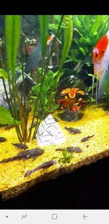 Анцитрус рыбки сомик