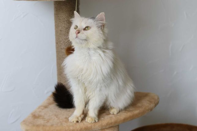 Отдам белую ласковую кошку 1 год