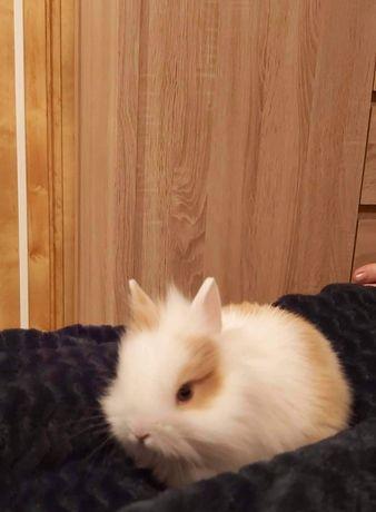 Witam sprzedam królika z klatką.