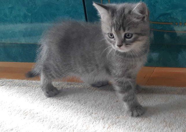 Кошеня шотландець