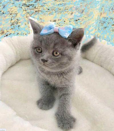 Scottish Straight fêmea azul