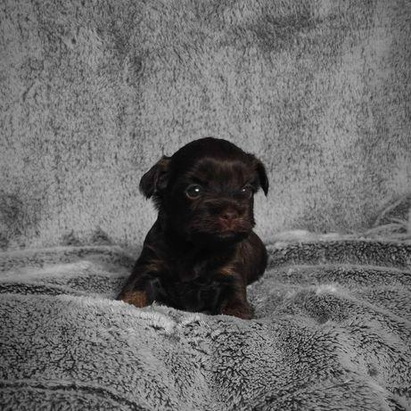 Chocolate Yorkshire Terrier, suczka