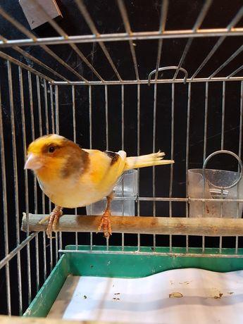 Kanarek Samica Nr 31 Wysyłam ptaki kurierem