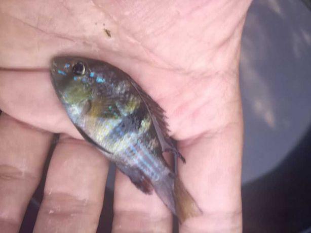 Gymnogeophagus - peixe adaptados a água fria
