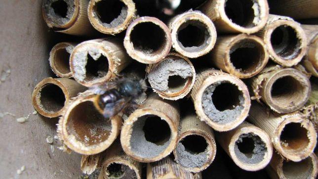 Бджоли осмії продам