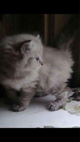 Ragdoll kociaki ostatnia kotka  5 pokoleniowy rodowod Fpl
