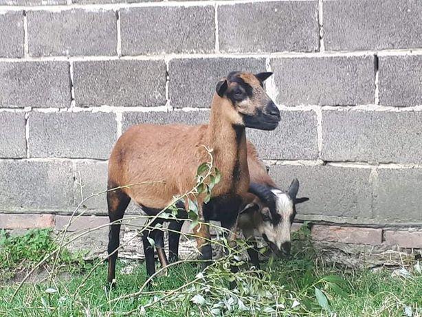 Owce Kameruńskie parka