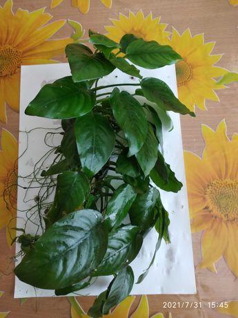 Анубиас, аквариумное растение