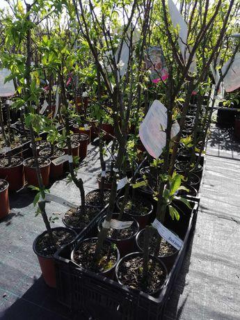 Árvores de fruto em vaso preço sob consulta. Agora:kunquat e L. Caviar
