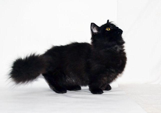 черная длинношерстная кошечка