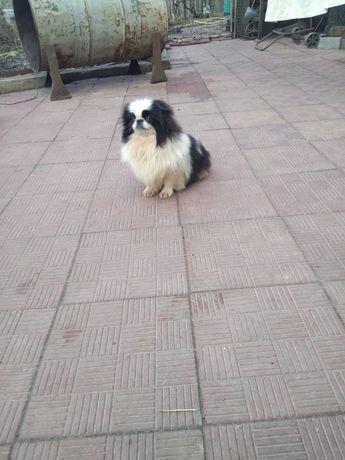 Продам щенка японского хина