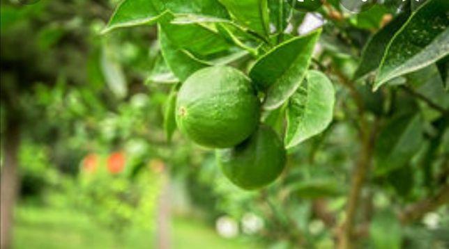 Árvores de limas, tangerinas, laranjas e limoes