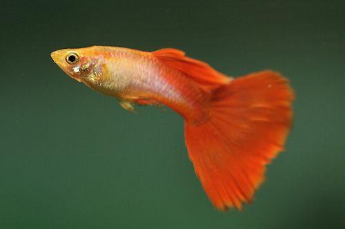 Gupik Orange Tail
