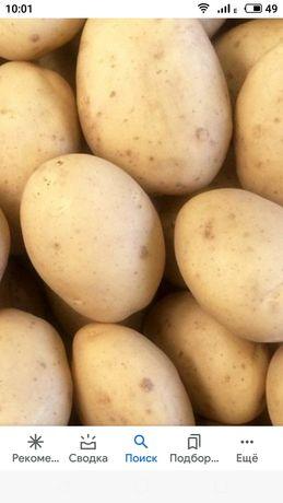 продам семенной картофель сорт Лаперла