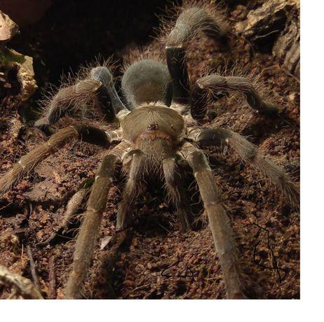 Hysterocrates gigas самки паука птицееда по Украине