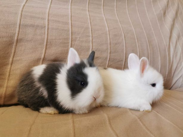 KIT completo coelhos anões + gaiola nova + comida