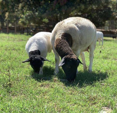 Вівці Дорпер
