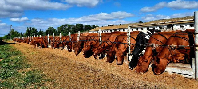 Продам корів Волинсько-мясної породи