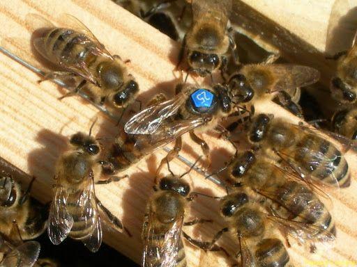 Пчеломатки Карника Латбуш (Latbush F-1) Австрия, племенная станция