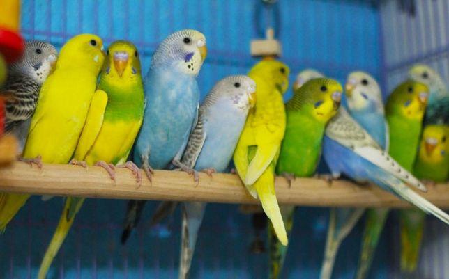 Волнистые попугайчики домашнего разведения