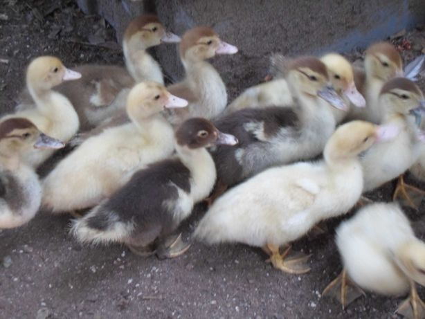 Patos Mudos caseiros