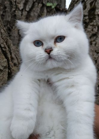 Котенок котик шиншилла поинт bri ns 11 33