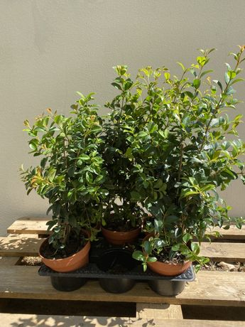 Eugénia Myrtifolia 50 cm 4 unidades
