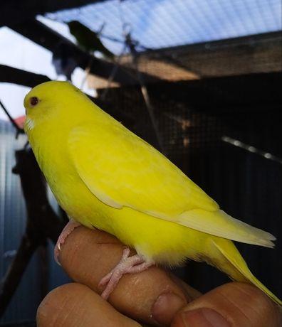 Młodziutkie Papugi faliste żółte tęczowe mutacja