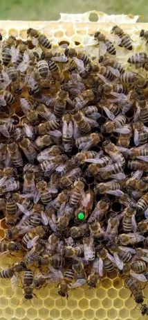 Плодка СARNICA Бджолина матка От Матки F0 Г.Маха