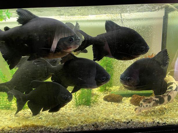 Piranha falsa - red belly pacu
