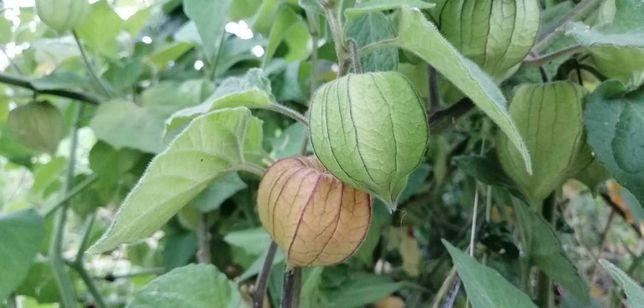 Physalis (fisalis) - fruto