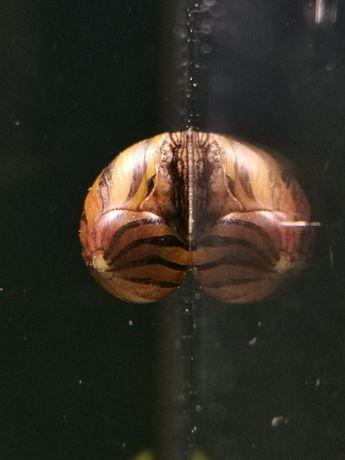 Ślimak Neritina zebra / SKLEP SKALAR