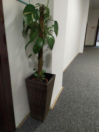 Sprzedam roślinę