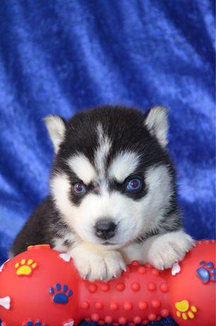 Хаски красивые щенки