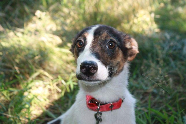 Щенок, метис Фокс терьера, девочка, маленькая собака в квартиру
