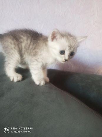 Котята британская серебристая шиншилла