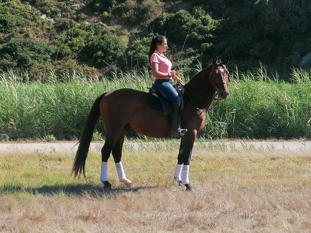Cavalo montado e engatado