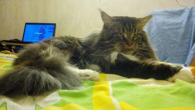 Красавец кот мейн кун (вязка)