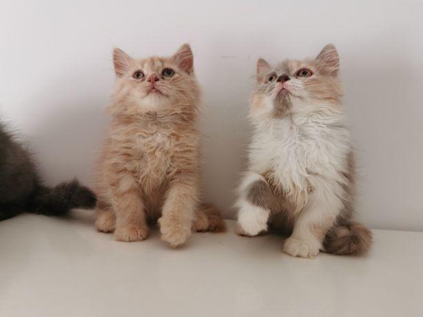 Kot kotki Brytyjskie Dlugowłose Rodowód Chip