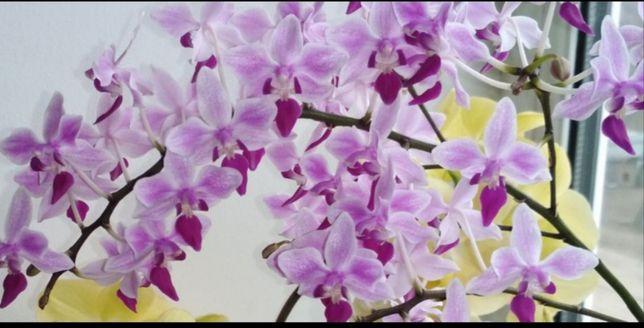 Орхидея экветрис розовый