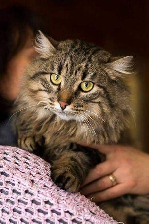 Шикарный сибирский кот по имени Лесик ищет семью!