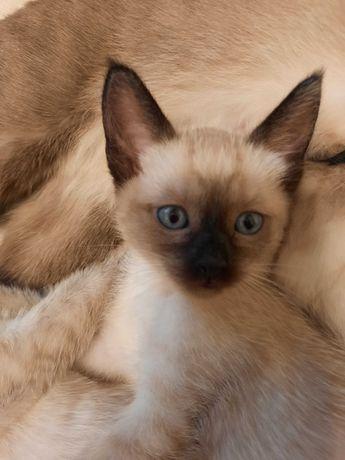 Продажа сиамских котят