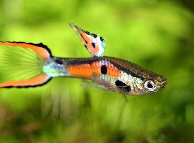 sprzedam rybki akwariowe